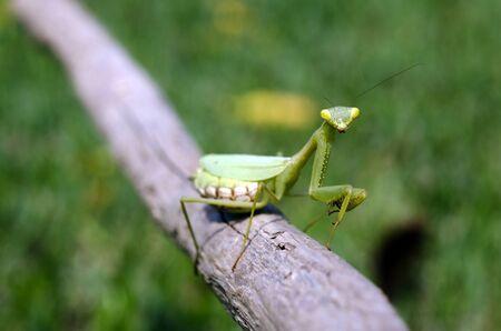 crawly: Female praying mantis on a wooden stick.