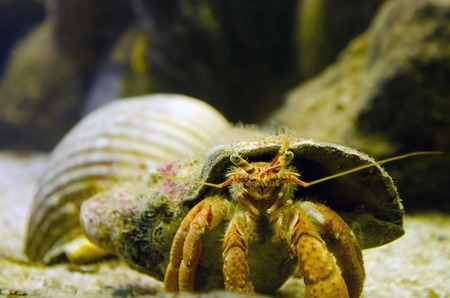 deep water: Hermit Crab carry his shell underwater