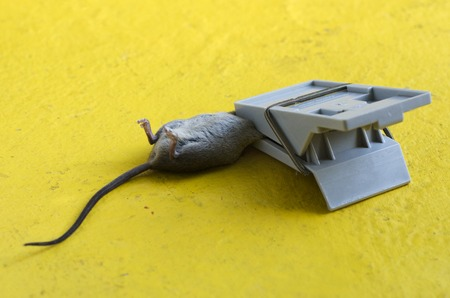 unethical: Mouse caught in a Mousetrap.