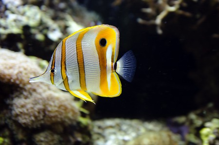 butterflyfish: Copperband butterflyfish swim underwater in a tropical reef.