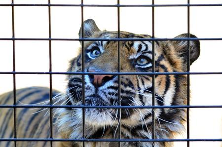 sumatran tiger: Sumatran Tiger look through a cage bars.