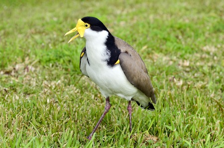 previously: The Masked Lapwing (Vanellus miles), previously known as the Masked Plover and often called the Spur-winged Plover or just Plover its a native bird to Australia and self-introduced bird to New Zealand.