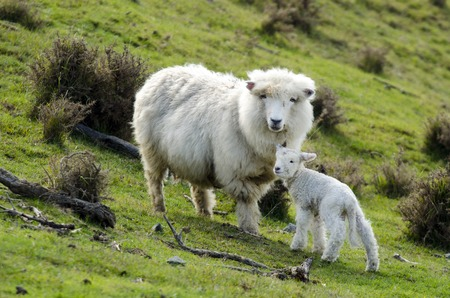 romney: Perendale Sheep and her lamb.Its a breed of sheep developed in New Zealand by Massey Agricultural College (now Massey University) for use in steep hill situations. It is raised primarily for meat.