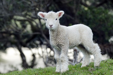 south island new zealand: Perendale Sheep lamb.Its a breed of sheep developed in New Zealand by Massey Agricultural College (now Massey University) for use in steep hill situations. It is raised primarily for meat. Stock Photo