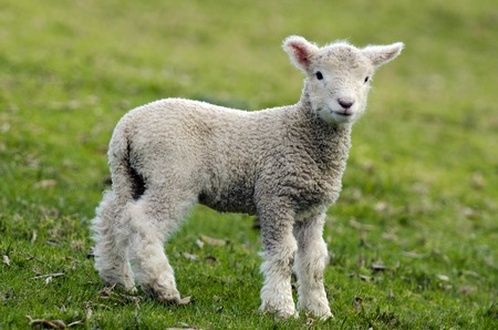 romney: Perendale Sheep lamb.Its a breed of sheep developed in New Zealand by Massey Agricultural College (now Massey University) for use in steep hill situations. It is raised primarily for meat. Stock Photo
