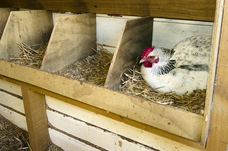 henhouse: A chicken laying an egg inside of a nesting box on a farm in New Zealand. Stock Photo