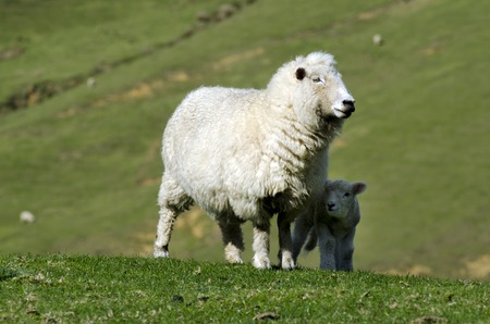 Perendale Sheep and her lamb.Its a breed of sheep developed in New Zealand by Massey Agricultural College (now Massey University) for use in steep hill situations. It is raised primarily for meat.