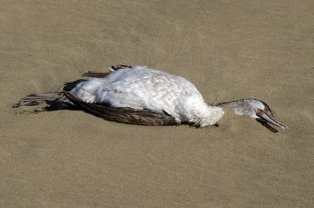 foamed: Dead cormorant on a sandy beach. Stock Photo