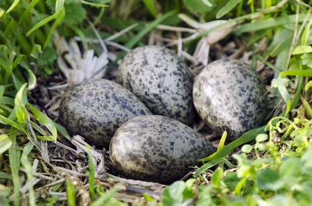 native bird: Four Eggs in a nest of the Masked Lapwing (Vanellus miles), previously known as the Masked Plover and often called the Spur-winged Plover or just Plover its a native bird to Australia and self-introduced bird to New Zealand. Foto de archivo