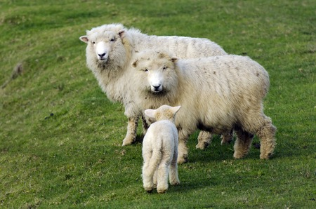 romney: Family of Perendale Sheep.Its a breed of sheep developed in New Zealand by Massey Agricultural College (now Massey University) for use in steep hill situations. It is raised primarily for meat.
