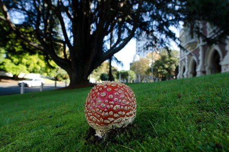mortally: The toxic mushroom Amanita muscaria, commonly known as fly agaric