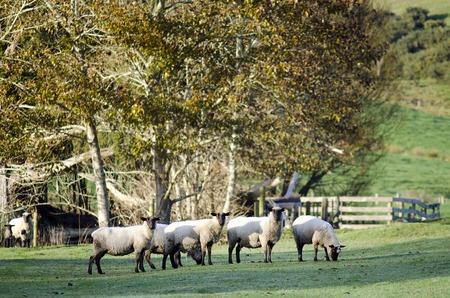 oveja negra: Reba�o de ovejas negro en una granja. Foto de archivo