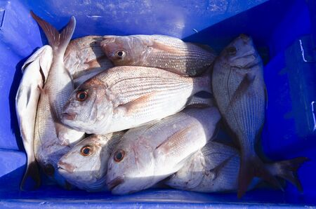 Many fresh Snapper fish in a blue box and ice.