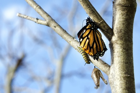 transmute: Monarch Butterfly on a Milkweed Mania, baby born in the nature. Stock Photo