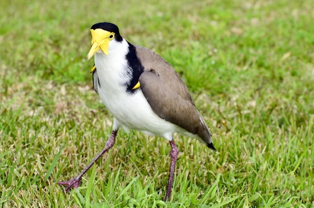 feathering: The Masked Lapwing (Vanellus miles), previously known as the Masked Plover and often called the Spur-winged Plover or just Plover its a native bird to Australia and self-introduced bird to New Zealand.