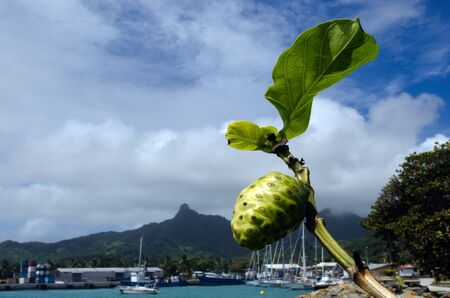 rarotonga: Noni fruit and leaf on Morinda citrifolia tropical tree, grow near port of Avatiu in Avarua Rarotonga, Cook Islands. Stock Photo