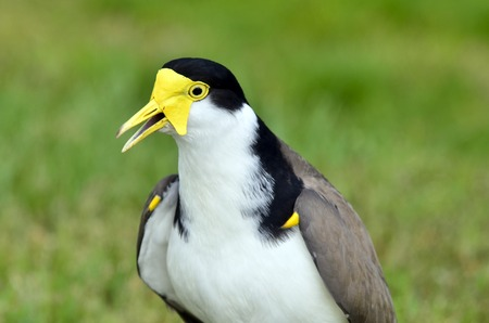 native bird: The Masked Lapwing (Vanellus miles), previously known as the Masked Plover and often called the Spur-winged Plover or just Plover its a native bird to Australia and self-introduced bird to New Zealand.