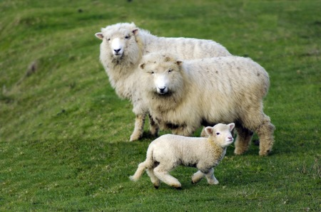 Family of Perendale Sheep.Its a breed of sheep developed in New Zealand by Massey Agricultural College (now Massey University) for use in steep hill situations. It is raised primarily for meat.