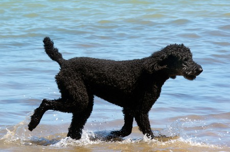 Black Poodle dog walks in the water on the beach. Imagens