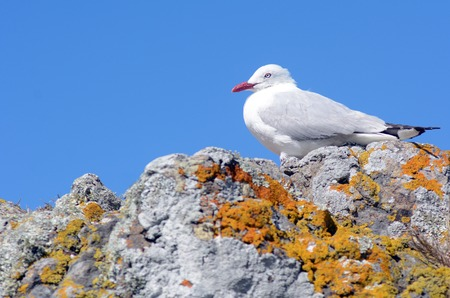 chroicocephalus: Red-billed gull sit on a rock.