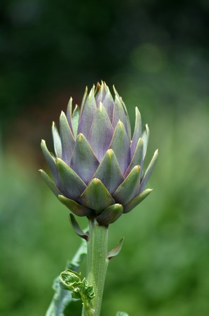 cardunculus scolymus: Artichoke plant grow in the garden.  close up