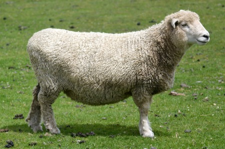 A sheep in a sheep station in the south Island of  New Zealand. Zdjęcie Seryjne