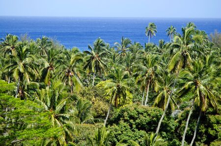 Canopy of coconut palm trees and seascape in Rarotonga Cook Islands during sunset.