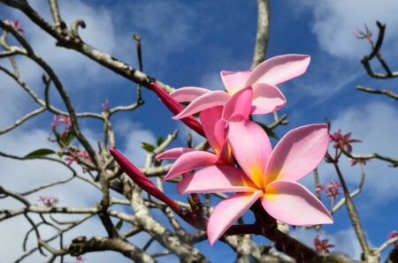 hawaiian lei: Frangipani (Plumeria rubra) , Hawaiian Lei flower on a tree in tropical  pacific Island.