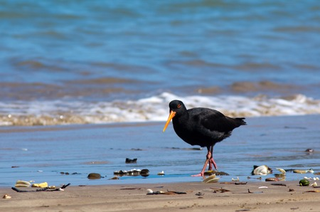 eye catcher: Oystercatcher looks for food on the beach. Stock Photo