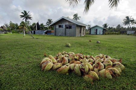 indispensable: AITUTAKI - SEP 17:Empty coconuts on the ground on Sep 17 2013.Coconut is a very versatile and indispensable fruit.Its a complete food rich in calories, vitamins, and minerals.