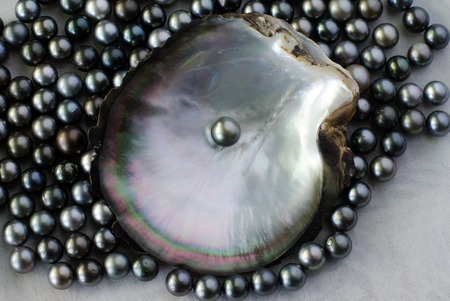 perls: Black lip oyster shell with black pearl. Studio shot isolated on white background.
