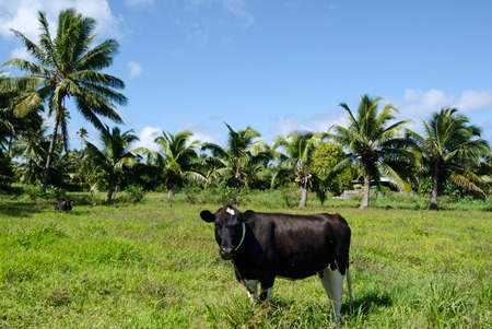 rarotonga: RAROTONGA - SEP 21:Two cows under coconut trees on Sep 21 2013.Cook Islands relies on imports of beef, veal, mutton and milk products from New Zealand and Australia.