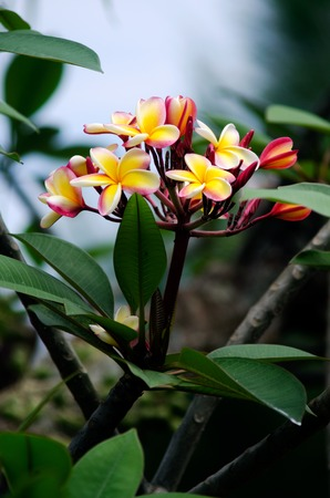 pacific islands: Frangipani (Plumeria rubra), also known as the Hawaiin Lei flower, is native to warm tropical areas of the Pacific Islands, Caribbean, South America and Mexico. Stock Photo
