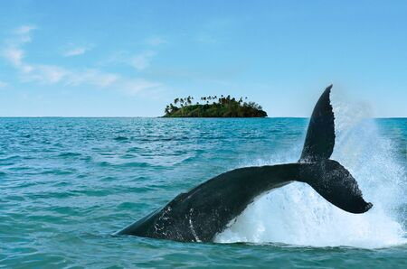 The tail of a Humpback Whale Megaptera novaeangliae rise above the water against a motu small island in Rarotonga Cook Islands