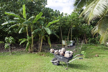 indispensable: AITUTAKI - SEP 17:Many coconuts in full wheelbarrow on Sep 17 2013.Coconut is a very versatile and indispensable fruit.Its a complete food rich in calories, vitamins, and minerals.
