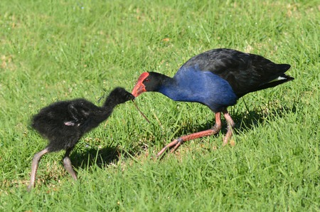 purple swamphen: Pukeko female feeds her Purple Swamphen Porphyrio porphyrio chick.