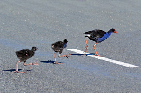 purple swamphen: Pukeko female crossing the road with her Purple Swamphen (Porphyrio porphyrio) chicks.