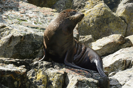 fiordland: Fur seal sit on a rock in Milford Sound, Fiordland New Zealand. Stock Photo