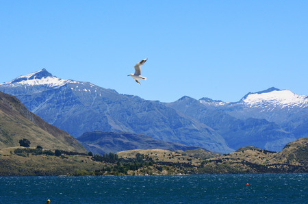 aspiring: Seagull fly above snow cap mountains of Mount Aspiring National Park in Wanaka lake in the Otago region of the South Island of New Zealand.