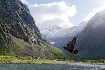 fiordland: Kea Mountain Parrot (nestor notabilis) fly in Fiordland, New Zealand.