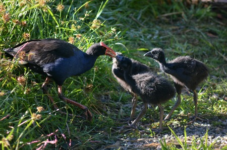 purple swamphen: Pukeko female feeds her 3 Purple Swamphen (Porphyrio porphyrio) chicks.