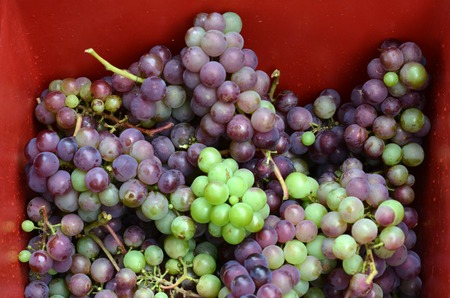 autumnn: Bunch of hand-picked red wine grapes in a red box. Ripe grapes from the vineyard. Wine concept