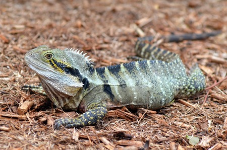 cold blooded: Australian Eastern Water Dragon in the wild of Queensland, Australia.