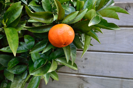 citrus tree: Ripe Mandarin orange hanging on citrus tree in home garden close up with copy space.