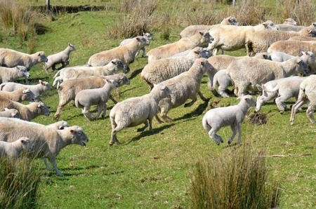 in herding: Flock of sheep runs away during herding in New Zealand. Stock Photo