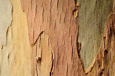 eucalyptus tree: Eucalyptus tree background texture. horizontal Stock Photo