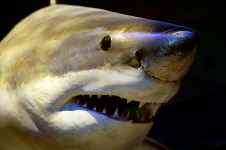 aggressiveness: Great white shark closeup face.