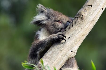 eucalyptus tree: Koala (Phascolarctos cinereus) climb on an eucalyptus tree in Australia.