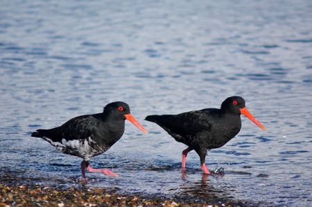 eye catcher: Two Oystercatcher looks for food on the beach. Stock Photo