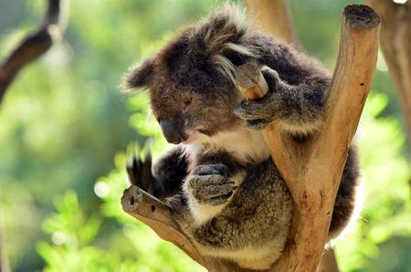 full length herbivore: Koala (Phascolarctos cinereus) sit on an eucalyptus tree in Australia.